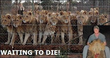 troph-hunt-lions